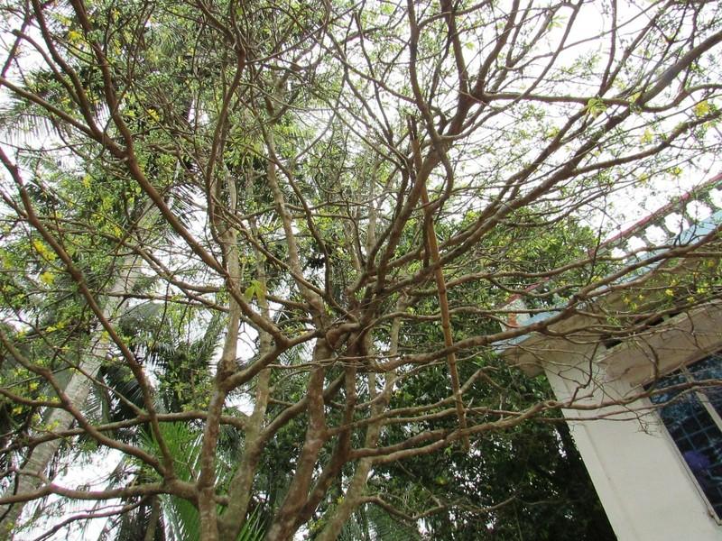 Ngắm cây mai khủng cao 4m, tán rộng 5m - ảnh 3