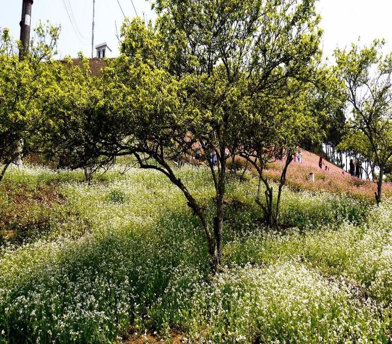 Hoa cải trắng xen lẫn tam giác mạch nối tiếp nhau trải dài tới tận đỉnh đồi.