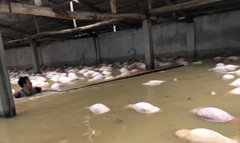 4.000 con heo chết đuối trong trang trại - ảnh 1