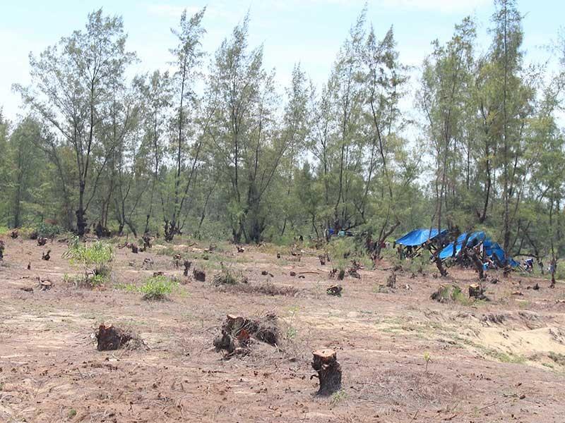 Quảng Ngãi: San ủi rừng dương để trồng rau - ảnh 1