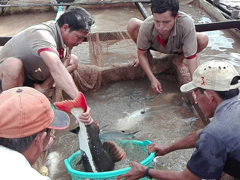 Lão nông miền Tây nuôi 'thủy quái vùng Amazon' - ảnh 1