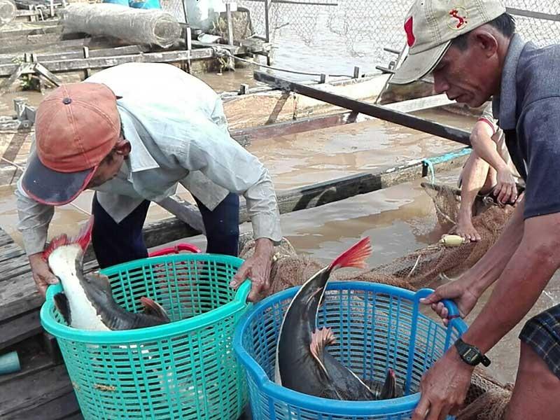Lão nông miền Tây nuôi 'thủy quái vùng Amazon' - ảnh 3