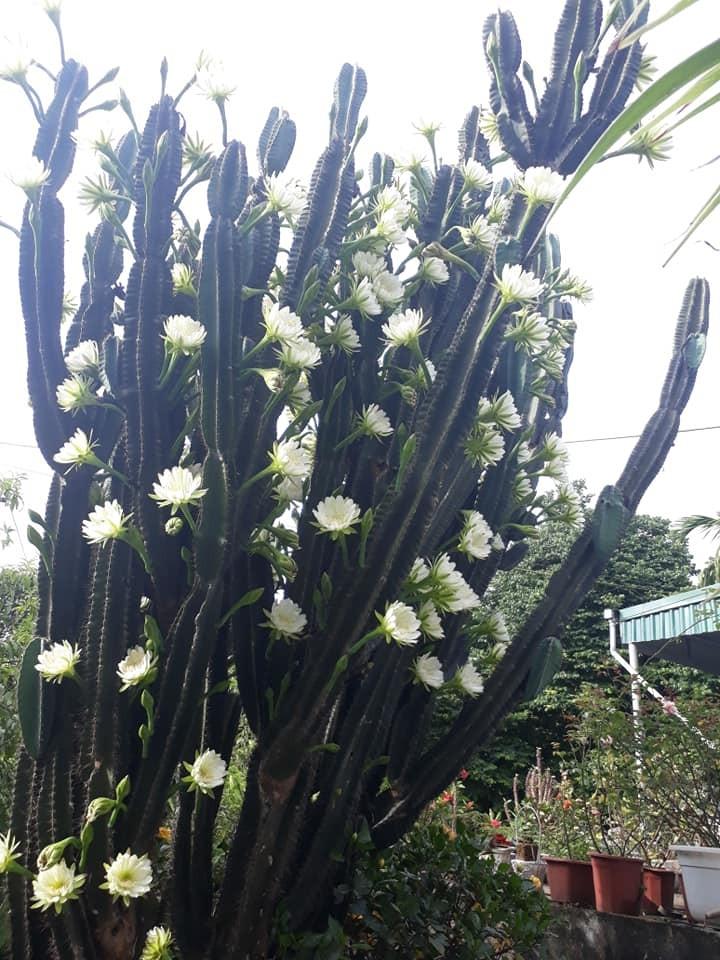 Trầm trồ cây xương rồng 30 năm tuổi trổ kín hoa - ảnh 3