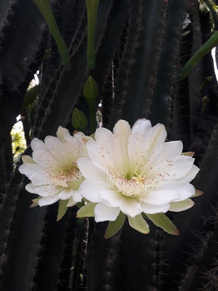 Trầm trồ cây xương rồng 30 năm tuổi trổ kín hoa - ảnh 2