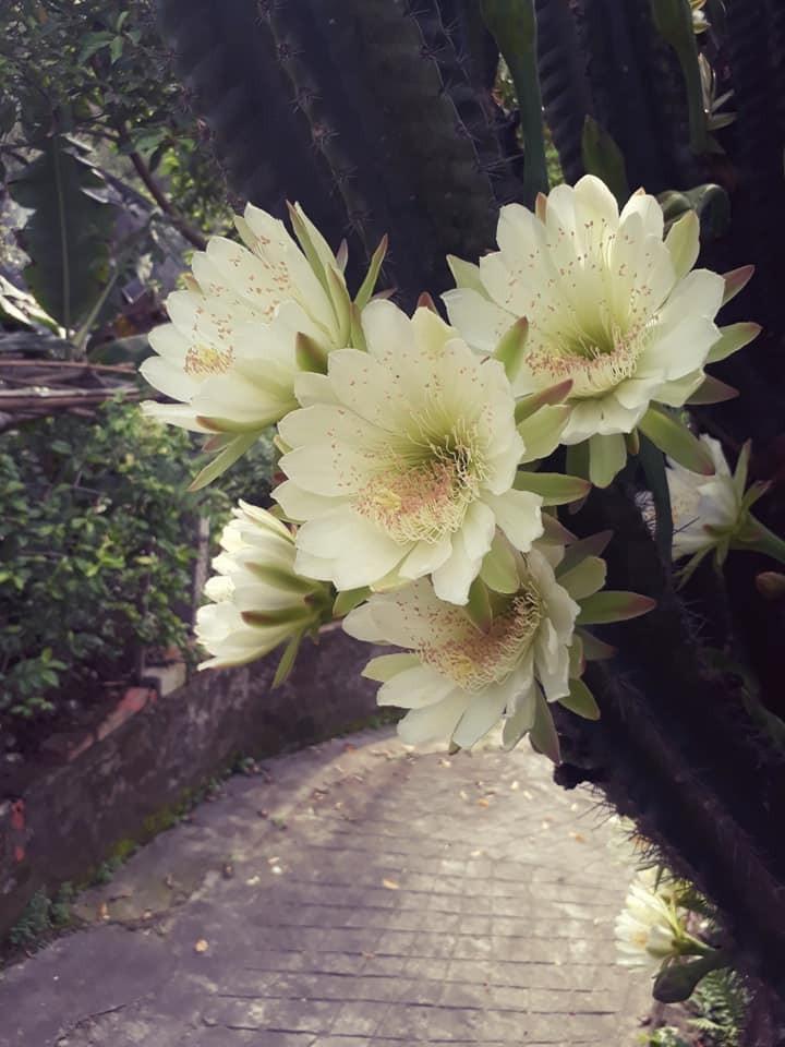 Trầm trồ cây xương rồng 30 năm tuổi trổ kín hoa - ảnh 4