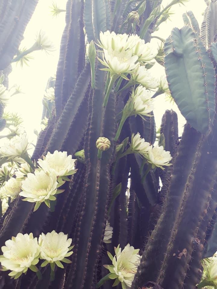 Trầm trồ cây xương rồng 30 năm tuổi trổ kín hoa - ảnh 5