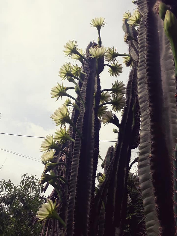 Trầm trồ cây xương rồng 30 năm tuổi trổ kín hoa - ảnh 6