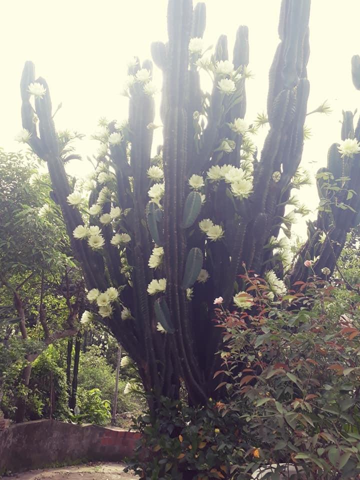 Trầm trồ cây xương rồng 30 năm tuổi trổ kín hoa - ảnh 1