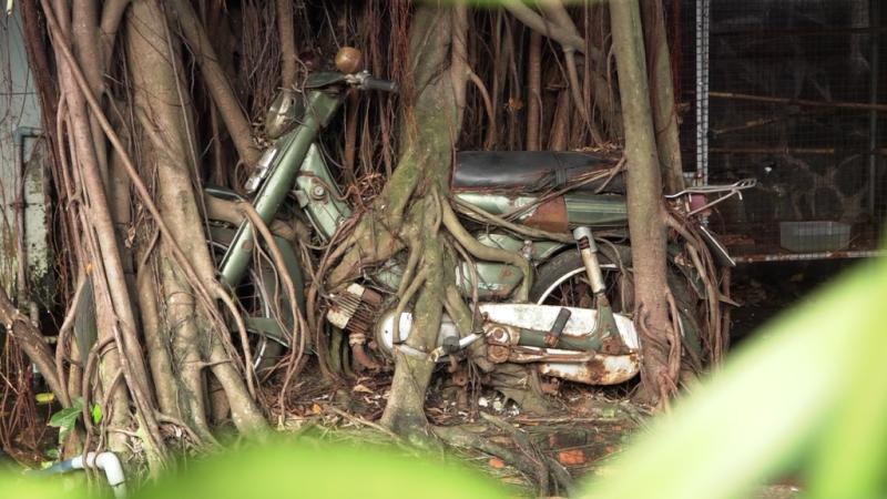 1 cây cổ thụ quấn chặt xe máy hàng chục năm  - ảnh 1
