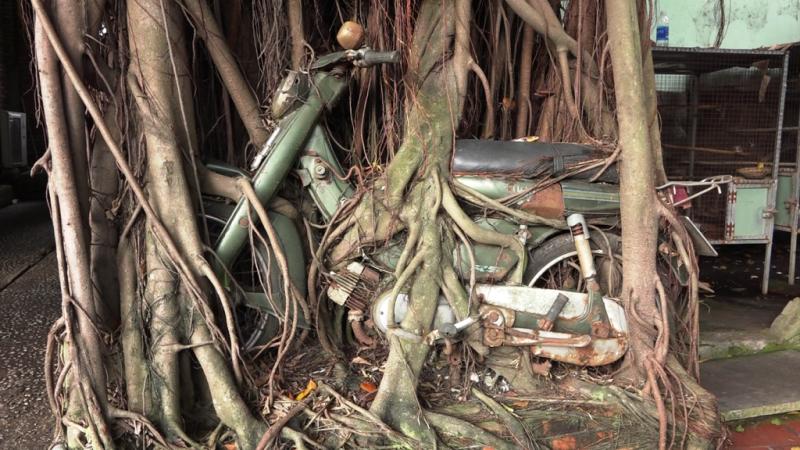 1 cây cổ thụ quấn chặt xe máy hàng chục năm  - ảnh 2