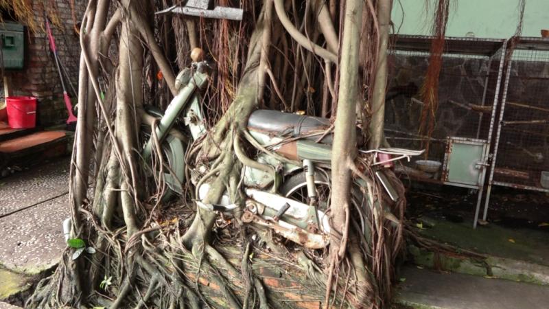 1 cây cổ thụ quấn chặt xe máy hàng chục năm  - ảnh 4
