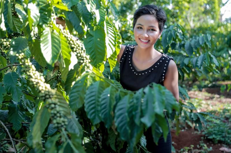Hoa hậu H'Hen Niê về quê hái cà phê - ảnh 1