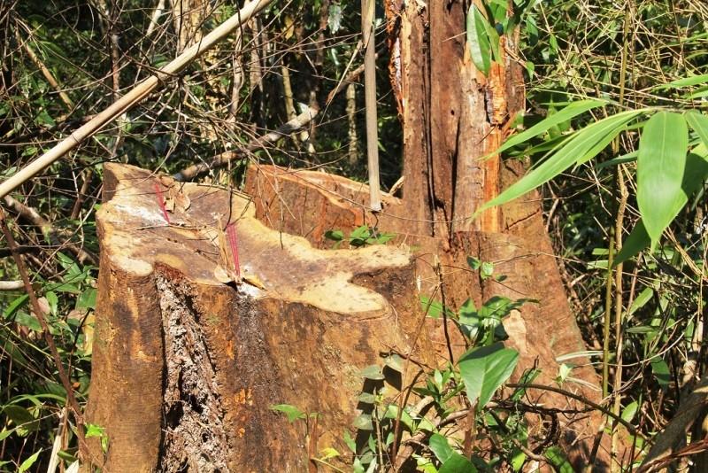 Quảng Nam yêu cầu điều tra rừng phòng hộ bị phá - ảnh 2