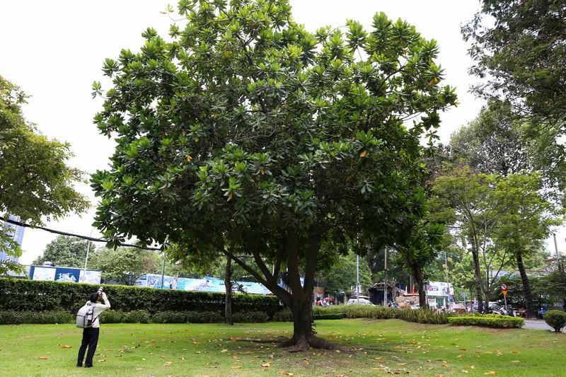 Ngắm hoa bàng vuông Trường Sa nở giữa Sài Gòn - ảnh 1