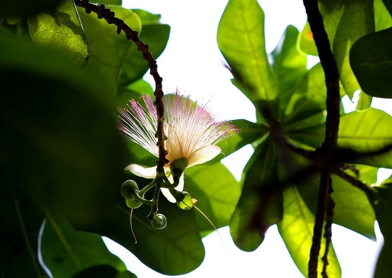 Ngắm hoa bàng vuông Trường Sa nở giữa Sài Gòn - ảnh 2