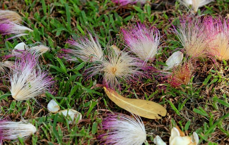 Ngắm hoa bàng vuông Trường Sa nở giữa Sài Gòn - ảnh 7