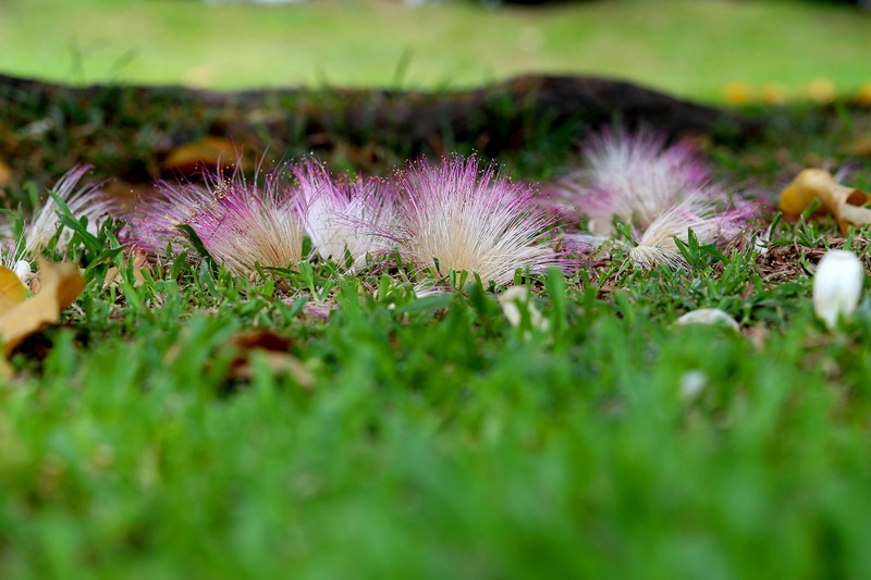 Ngắm hoa bàng vuông Trường Sa nở giữa Sài Gòn - ảnh 8