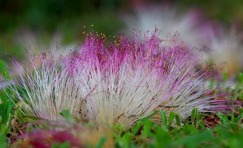 Ngắm hoa bàng vuông Trường Sa nở giữa Sài Gòn - ảnh 9