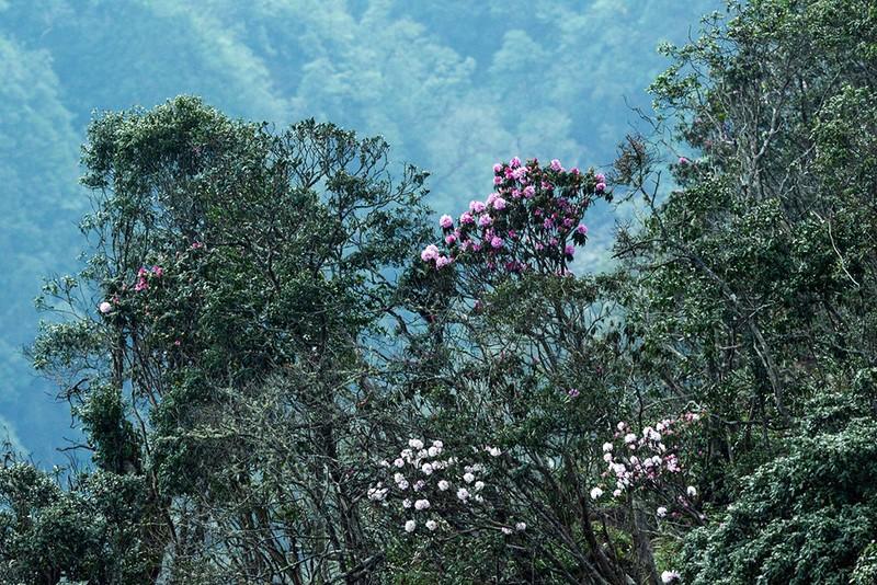 Đỗ quyên - ngất ngây cảnh sắc từ rừng tới hội - ảnh 2