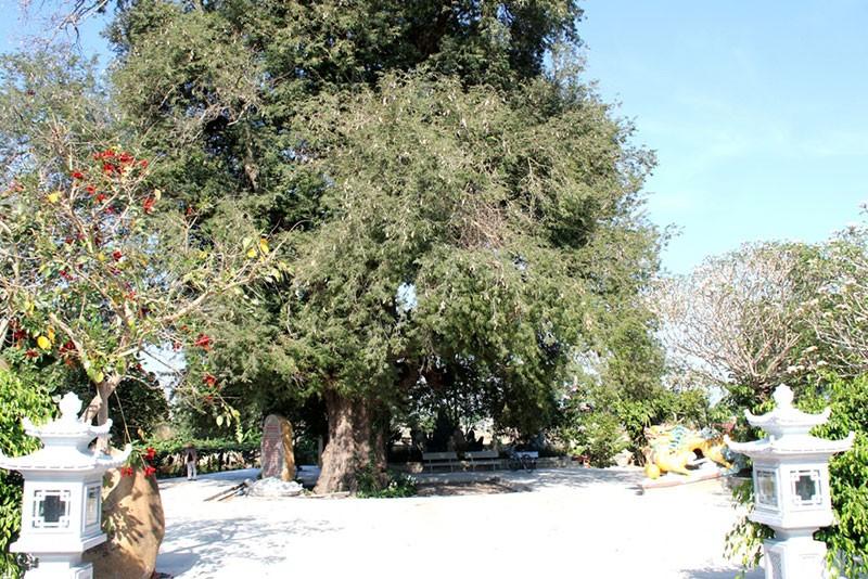 Một làng có 3 cụ cây gần 300 năm tuổi - ảnh 4