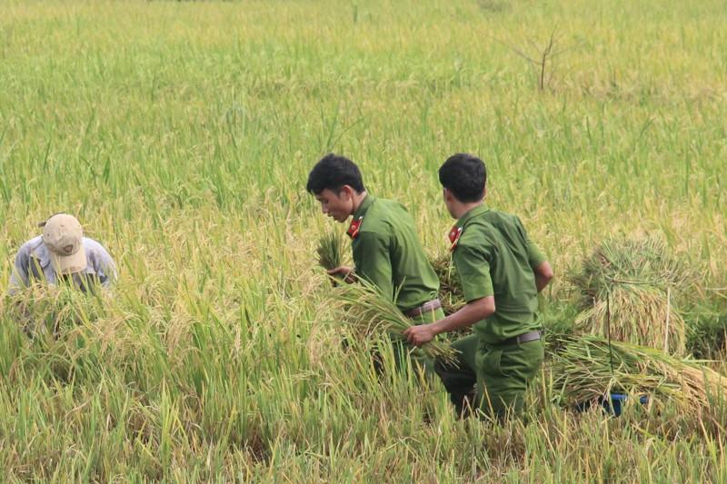 Công an xắn tay xuống đồng gặt lúa giúp dân sau bão - ảnh 4