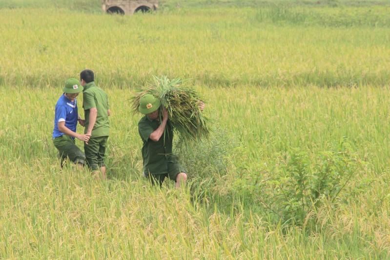 Công an xắn tay xuống đồng gặt lúa giúp dân sau bão - ảnh 2