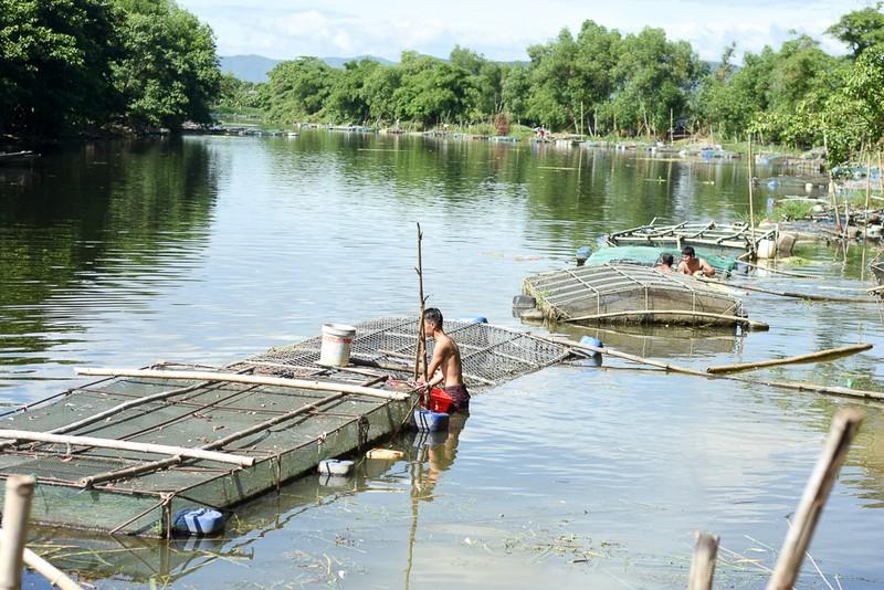 Người dân gạt nước mắt cứu cá lồng trên sông Bồ - ảnh 1