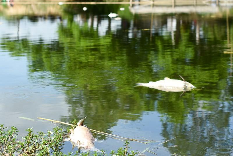 Người dân gạt nước mắt cứu cá lồng trên sông Bồ - ảnh 9