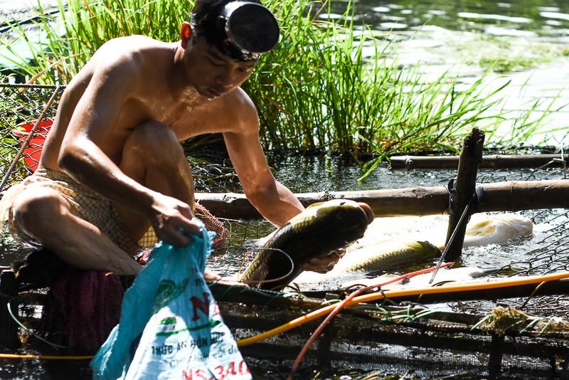 Người dân gạt nước mắt cứu cá lồng trên sông Bồ - ảnh 2