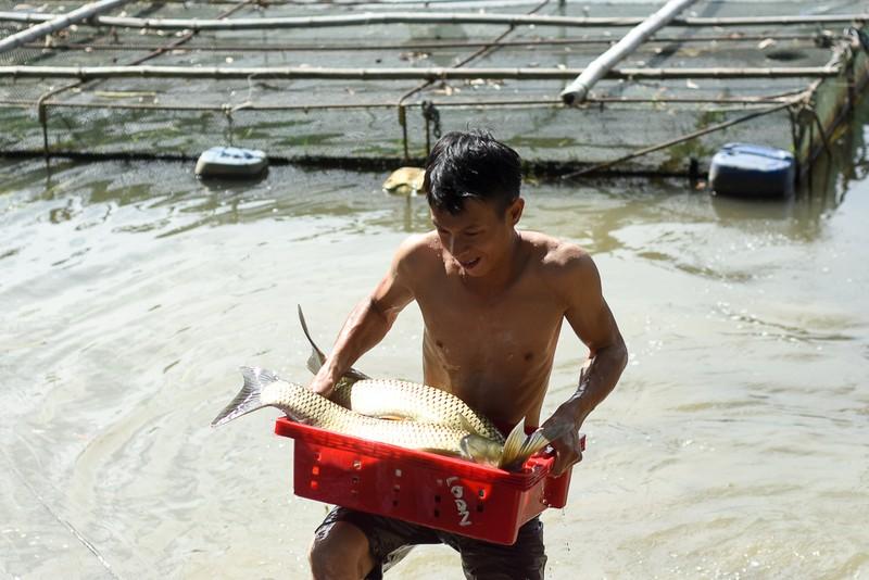 Người dân gạt nước mắt cứu cá lồng trên sông Bồ - ảnh 5