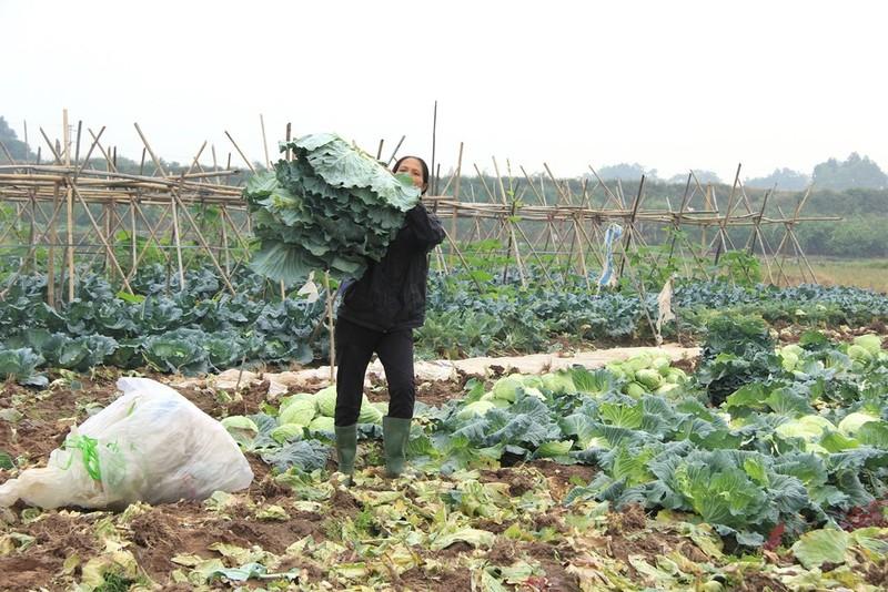 Về vùng đất cung cấp rau sạch lớn nhất Hà Nội - ảnh 9