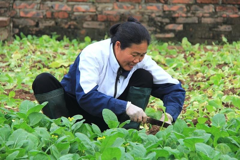Về vùng đất cung cấp rau sạch lớn nhất Hà Nội - ảnh 2