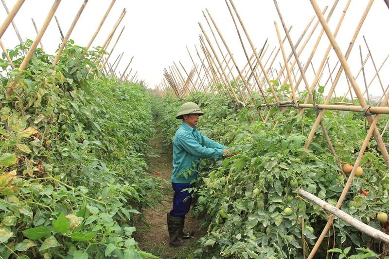 Về vùng đất cung cấp rau sạch lớn nhất Hà Nội - ảnh 5
