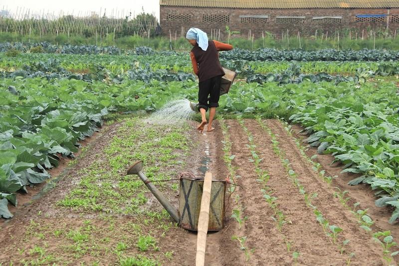 Về vùng đất cung cấp rau sạch lớn nhất Hà Nội - ảnh 8