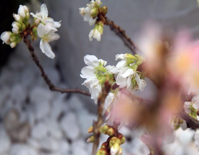 150 cây hoa anh đào bao gồm 2 loại, là hoa anh đào đỏ và hoa anh đào trắng
