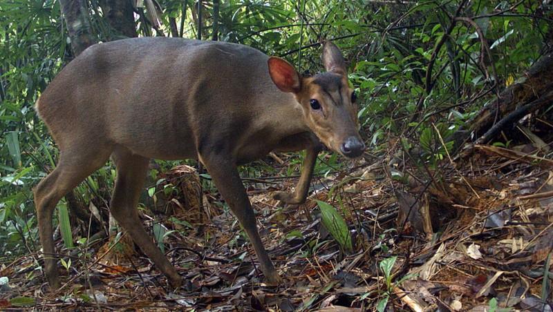 Loài Mang lớn cực kỳ quý hiếm lần đầu tiên được ghi nhận tại Quảng Nam