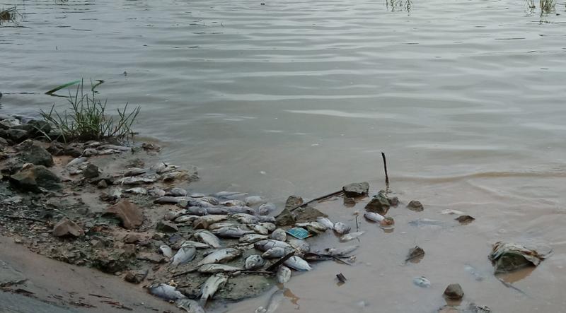 Cá chết nổi trắng hồ mới nạo vét   - ảnh 1