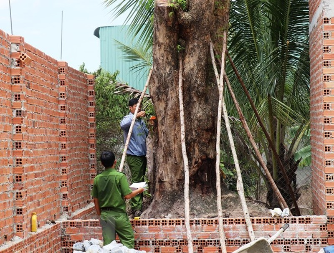 Vụ trộm cây giáng hương 100 tuổi gây xôn xao dư luận - ảnh 1