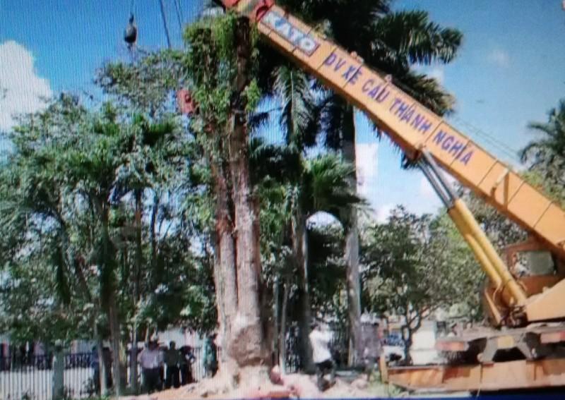 Vụ trộm cây giáng hương 100 tuổi gây xôn xao dư luận - ảnh 3