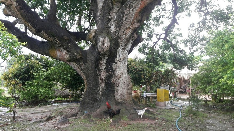 Kỳ thú cây xoài hơn 300 năm tuổi - ảnh 2