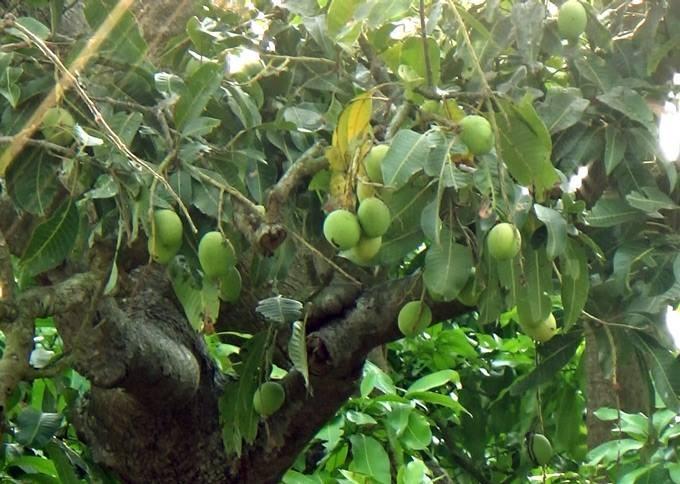 Kỳ thú cây xoài hơn 300 năm tuổi - ảnh 3