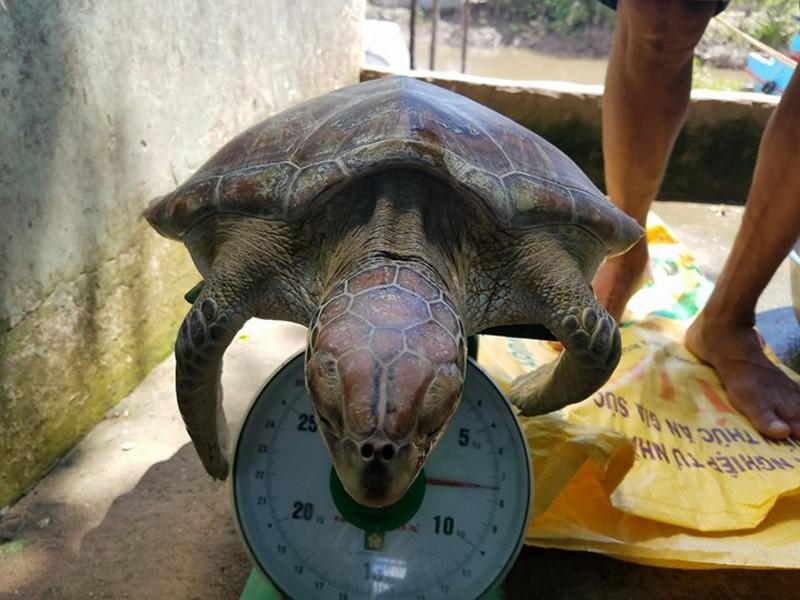 Bến Tre 'giải cứu' và thả con vích 7,5 kg về biển - ảnh 2