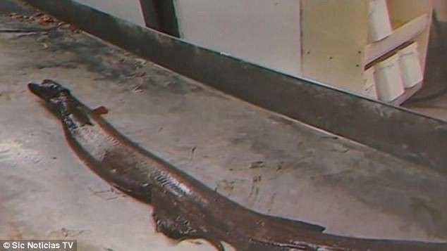 Bắt được cá mập thời tiền sử có 300 chiếc răng - ảnh 3
