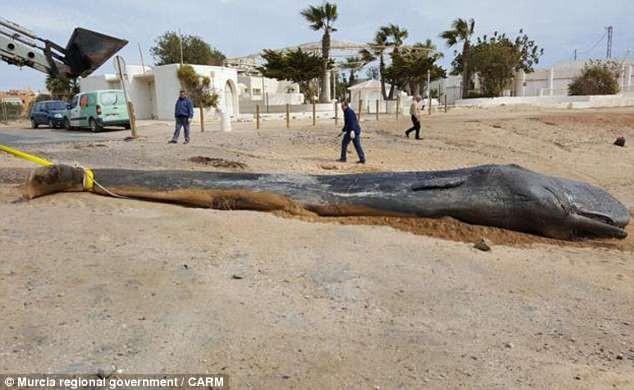 Cá nhà táng khổng lồ chết vì ăn quá nhiều rác - ảnh 1
