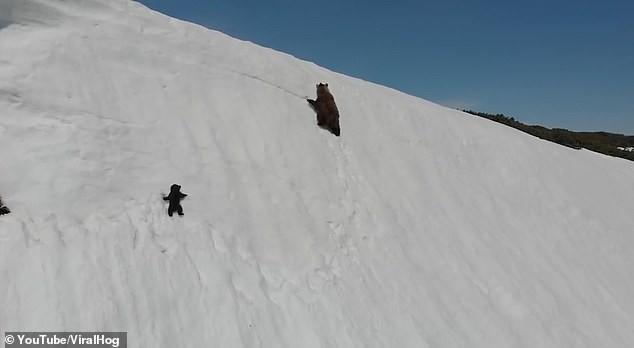 Gấu con không bỏ cuộc trước đỉnh núi tuyết gây bão mạng - ảnh 2