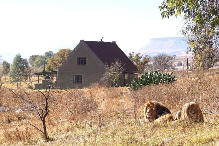 Trả tiền để sống chung với 77 con sư tử - ảnh 1