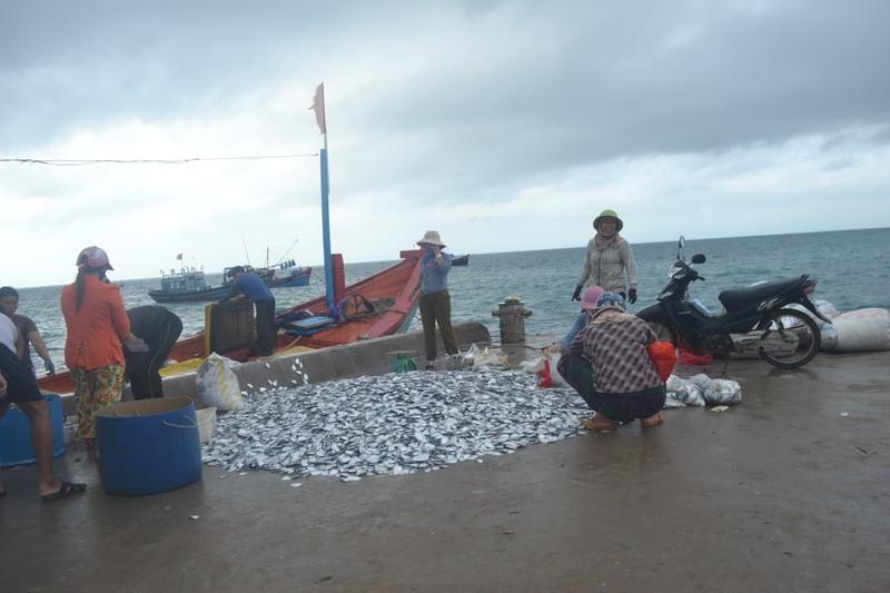 Ngư dân Lý Sơn trúng mùa cá bánh lái - ảnh 1