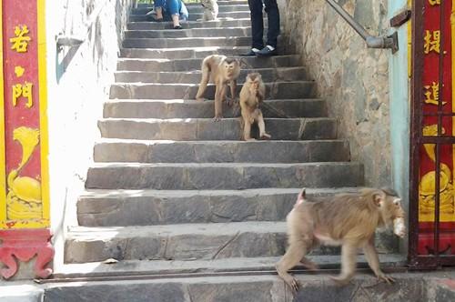 Khỉ trên núi Châu Thới ở Bình Dương bị săn trộm - ảnh 1