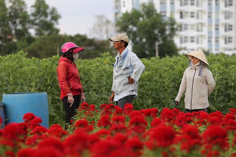 Làng hoa ven Sài Gòn hối hả đón Tết Kỷ Hợi - ảnh 13