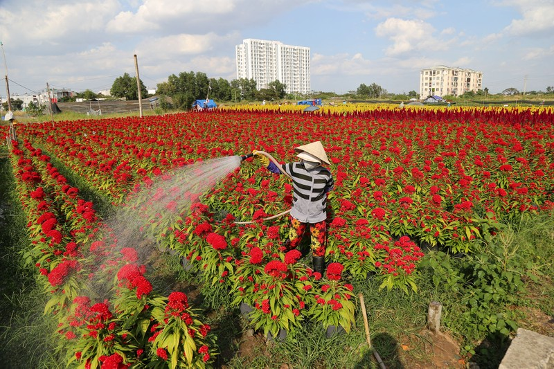 Làng hoa ven Sài Gòn hối hả đón Tết Kỷ Hợi - ảnh 1